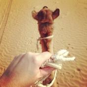 Camel Happy, UAE