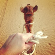 Camel Happy, UAE
